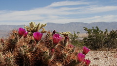 Desert Roses (Rand Luv'n Life) Tags: odc our daily challenge anza borrego desert spring bloom mountain range sky clouds outdoors nature cholla cacti cactus blossoms