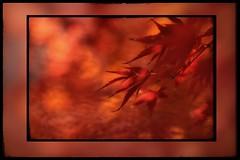 Soy muy sentimental y muy mierda a la vez. (elena m.d.) Tags: macromondays new guadalajara elena macrofotografia rojo colores colors autumn otoño nature nikon d5600 sigma sigma105
