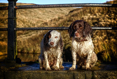 Rups and Razz on the bridge (2) (Missy Jussy) Tags: europe landscape northwest outdoor outside bluesky xmaseve christmas december 2018 dogs dogwalk dogportrait pets animals animalportrait englishspringer springerspaniel spaniel readycondeanreservoir reservoir fence fields grass wall bridge denshaw 70200mm ef70200mmf4lusm ef70200mm canon70200mm canon5dmarkll canon5d canoneos5dmarkii canon rupert razz myboys