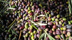 Recogida de la aceituna en mi casa (tripu) Tags: 2018 november winter spain granada caparacena cubillas andalusia closeup olive leaf harvest light heap oil working