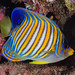 Regal Angelfish, subadult - Pygoplites diacanthus