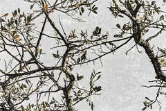 Not Cherry (p) (davidseibold) Tags: america california jfflickr leaf painting photosbydavid plant postedonfbpog postedonflickr redding shastacounty sky tree unitedstates usa
