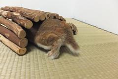 Ichigo san 1495 (Errai 21) Tags: いちごさん ichigo san  ichigo rabbit bunny cute netherlanddwarf pet ウサギ うさぎ いちご ネザーランドドワーフ ペット 小動物 1495