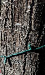 Tree with lights (earthdog) Tags: 2019 wood tree santaclara bark light christmaslight googlepixel pixel androidapp moblog cameraphone