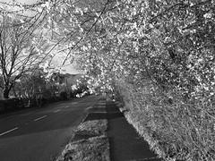 Mí Eanáir i nGleann Maghair (Rhisiart Hincks) Tags: mizgenver míeanáir ionawr urtarrila janvier january amfaoilleach gleannmaghair glanmire corc cork corcaigh hazelwood collchoill coed zuhaitzak trees crainn gwez arbres craobhan maestref suburb fobhaile bruachbhaile monochrome unlliw blancoynegro zwartwit duagwyn gwennhadu dubhagusgeal dubhagusbán blackandwhite bw zuribeltz blancetnoir blackwhite sortoghvid μαύροκαιάσπρο feketeésfehér juodairbalta melnsunbalts černýabílý czarnyibiały treeinblossom crannfaoibhláth coedenyneiblodau