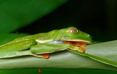 (Tony P Iwane) Tags: redeyedtreefrog frog amphibians herping treefrog frogs animals macro macrophotography costarica arenal eyes eyelid amphibian fieldherping herpetology agalychniscallidryas agalychnis wildlife
