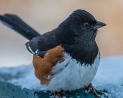 Bird blind all stars (Fred Roe) Tags: nikond7100 nikonafsnikkor200500mm156eed nature wildlife birds birding birdwatching birdwatcher towhee easterntowhee pipiloerythrophthalmus peacevalleypark