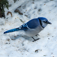 Blue Jay - Geai bleu (monteregina) Tags: nb201312105887 québec canada oiseaux birds geaibleu bluejay bruyant plumage plumes feathers bleues blues corvidae corvidés hiver winter neige snow wildlife avian largesongbird noisy territorial agressive graines seeds faune fauna wildbirds oiseauxsauvages aviaire oiseauchanteur songbird sauvagine omnivorous