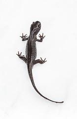 Salamander on Snow-1756 (Geoffrey Shuen Photography) Tags: stanleypark salamander snow