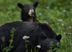 Black bear mother & cub Thompson Creek 2018_652 (Archie Richardson) Tags: blackbear blackbearcub thompsoncreek alberta 2018
