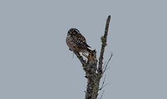 Northern Hawk Owl (Laura Erickson) Tags: saxzimbog stlouiscounty strigiformes strigidae birds northernhawkowl species places minnesota surniaulula