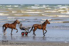 Entrainement (Oric1) Tags: tamron150600 france eos cheval oric1 bretagne côtesdarmor sea armorique jeanlucmolle breizh brittany canon horse 22 mer sport vagues waves landscape paysage