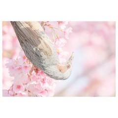 ヒヨドリ (HAL_SYLPH) Tags: bird animal nature wildlife xh1 xf100400mm fujifilm pronegastd
