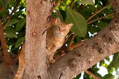 IMG_1051 Rubio, Mallorca (Fernando Sa Rapita) Tags: canon canoneos eos1300d mallorca rubio sarapita sigma sigmalens animal cat gatito gato kitten mascota pet