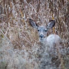 Black-tailed Deer (phoca2004) Tags: americancanyonmarsh blacktaileddeer california d90 napacounty nikon odocoileushemionus