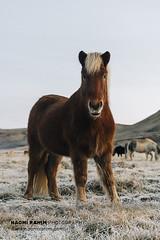 Icelandic Horse (Naomi Rahim (thanks for 5 million visits)) Tags: horse iceland kleifarvatn animal portrait outdoors scandinavia europe 2018 travel travelphotography nikon nikond7200 wanderlust cute red brown sunset farm eyecontact