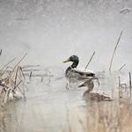 Mallards in a spring snow storm at Seedskadee National Wildlife Refuge thumbnail