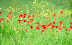 IMG_0010x (gzammarchi) Tags: italia paesaggio natura pianura campagna cesena montilgallo fiore papavero grano colore verde rosso