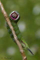 queue fourchue (gael611) Tags: chenille caterpillar nature insecte macro proxy bug natur insekt cerura