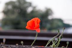 Flickr 2018 19 (Nice Day) Tags: blume deutschland eisenbahn fahrzeug mohn nrw niederrhein ort pflanze sonstiges duisburg nordrheinwestfalen de