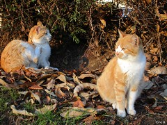 ♒️ Cats on leaveS ♒️ (Éric…Mon chemin ⊰♥) Tags: chats cats kitty animal ambazac hautevienne 87 eu limousin nouvelleaquitaine forêt bois feuilles leaves décembre december hiver winter 2018 paysage landscape nature canon canonixius photography travel light village campagne country countryside pets extérieur outdoor