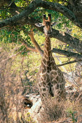 GiraffeInShade-17.jpg (thisbrokenwheel) Tags: africa lowersabie safari mammal sabieriver wildernesspreserve krugerpark wildlifephotography wildlife travel nature southafrica giraffe knp conservation sanparks reticulatedgiraffe