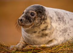 Grey Seal Pup (Peter Quinn1) Tags: greyseal sealpup greysealpup donnanook lincolnshire winter sealcolony december seal mammal coast