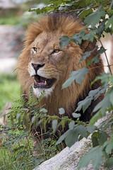 A nice male lion for you! (Tambako the Jaguar) Tags: lion big wild cat african male mane portrait beautiful young vegeation plants rock stone openmouth friendly munich münchen hellabrunn zoo germany nikon d5