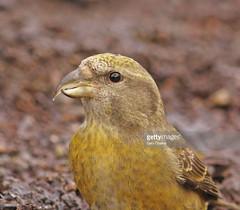 Crossbill female (Gary Chalker, Thanks for over 4,000,000. views) Tags: crossbill bird pentax pentaxk3ii k3ii pentaxfa600mmf4edif fa600mmf4edif fa600mm 600mm