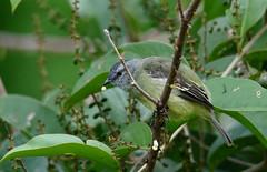Tyrannulus elatus (mazama973) Tags: yellowcrownedtyrannulet tyrannuluselatus tyranneauroitelet bird oiseau frenchguiana guyane guyanefrançaise