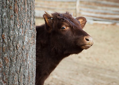 How Now, ... (Chancy Rendezvous) Tags: hownowbrowncow calf cattle bovine tree brown field farm oldsturbridgevillage village osv osvorg yearling cute animal curiosity curious eye davelawler chancyrendezvous blurgasm lawler