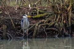 """""""Le héron"""" (leguen.maxime) Tags: héron oiseau animal grand cendré nature eau loire loiret hiver prédateur"""