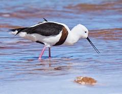 Banded Stilt -  (Cladorhynchus leucocephalus) (tregotha1) Tags: lake preston south