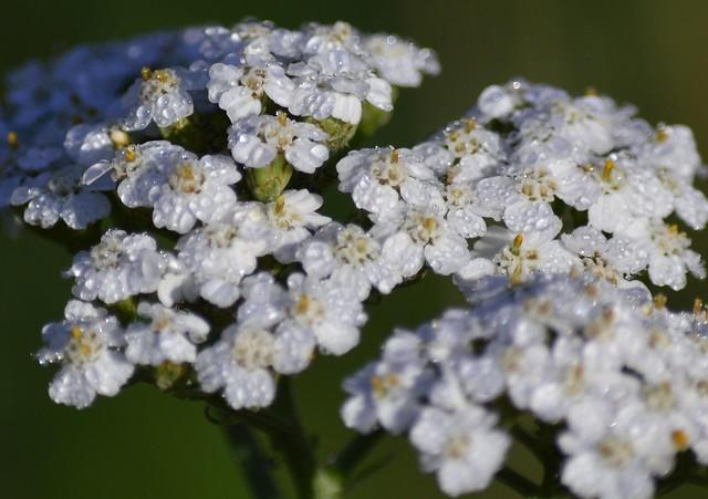 Обои Капли, Drops, Белые цветы, White flowers картинки на рабочий стол, раздел цветы - скачать