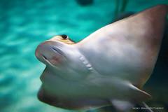 You can call me Ray (Sierra Springs Photography) Tags: karenschmautz sierraspringsphotography folsom aquarium seaquest fish ray
