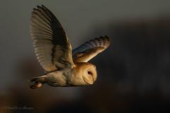Evening Lit Barn Owl (budgiepaulbird) Tags: barnowls canon7dmark2 100400mark2 birdsofprey hunting owls wildlife watching supplies c80