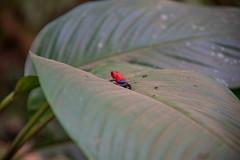 DSC_5710 (stacyjohnmack) Tags: bluejeansfrog costarica frog