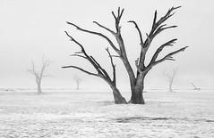 Trees- (petefoto) Tags: trees namibia desert misty ancient clay africa nikond810 sossuvlei aoi elitegalleryaoi bestcapturesaoi