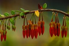 Lampionglocke (Roman Achrainer) Tags: münchen botanischergartem achrainer blüte pflanze lampionglocke aoi elitegalleryaoi bestcapturesaoi