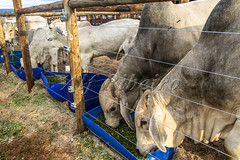 Alf 0007 - 1366 (Alf Ribeiro) Tags: agribusiness agriculture animal brazil brazilian mato nelore rural southeast work america beef bovine bull cattle confinement countryside cow domestic domesticated environment farm farming farmland field food grosso herd land livestock mammal meadow natural nature outdoor pasture plastic production quadruped raising ranch ruminant south steer white young