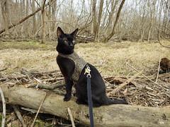 Black Cat,  Kakashi out for a walk (annette.allor) Tags: kakashi walk woods cat black