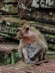 180726-216 Singe Rhésus (2018 Trip) (clamato39) Tags: singe monkey rhésus animal wild sauvage cambodge angkor asia asie cambodia voyage trip nature olympus