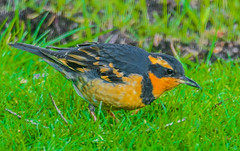 Varied Thrush--DSC9733--Port Orford, OR (Lance & Cromwell back from a Road Trip) Tags: birds thrush variedthrush lawn lawnbirds portorford currycounty oregon oregoncoast wildlife sony sonyalpha a57 tamron 150600mm tamron150600mmg2