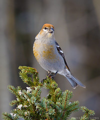 I'm Beautiful - And I Know It! (Doug Scobel) Tags: pine grosbeak pinicola enucleator saxzimbog sax zim bog forest boreal northern wild bird winter wildlife spruce snow birdperfect