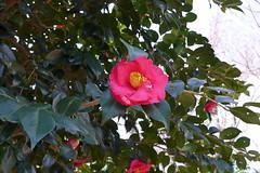 19o1691 (kimagurenote) Tags: ヤブツバキ camellia camelliajaponica flower 東高根森林公園 higashitakane forest park 川崎市宮前区 miyamaekawasaki
