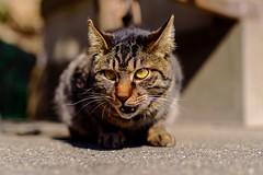 Brown tabby cat of Enoshima : 江の島のキジトラ (Dakiny) Tags: 2019 spring march japan kanagawa fujisawa enoshima island shonancoast city street animal mammal cat bokeh nikon d750