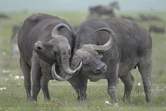 Bufalo Del Cabo - Cape Buffalo - Ngorongoro Crater - Tanzania (Gaston Maqueda) Tags: buffalo ngorongoro africa animals wildlife tanzania