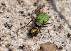 Green Tiger Beetle (chaz jackson) Tags: greentigerbeetle cicindelacampestris carabidae beetle green tiger insect