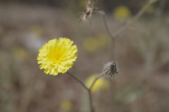 Between beauty and ugliness (ahmad al-shawaf) Tags: yellow flowers flower pentaxk1 pentax nature wildlife dead life macro photographer photograph photography plants plant