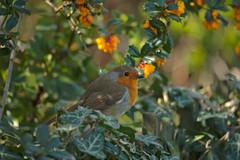 Red Breasted Robin (kattabrained) Tags: robin britain scotland garden